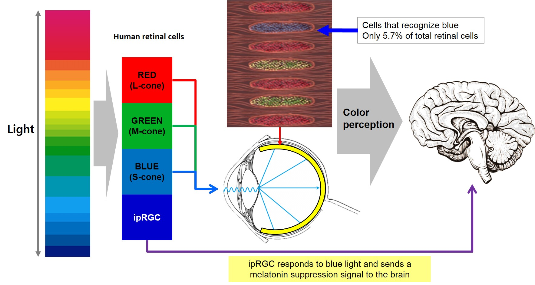 LEDs enable human-centric lighting optimized for circadian rhythms